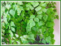 Adiantum trapeziforme (Giant/Diamond Maidenhair, Trapezoidal Maidenhair) with graceful arching fronds, July 9, 2014
