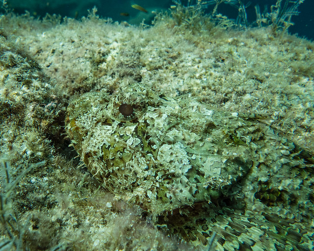 spot the scorpion fish