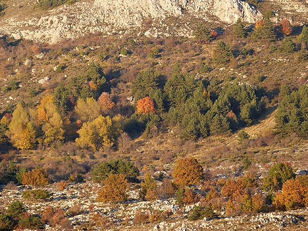 arbres jaunes caussol