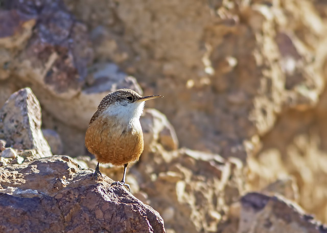 Canyon Wren 12 7D2 081115