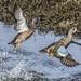 Blue-winged Teal Males Jumping Up to Flight by marlin harms