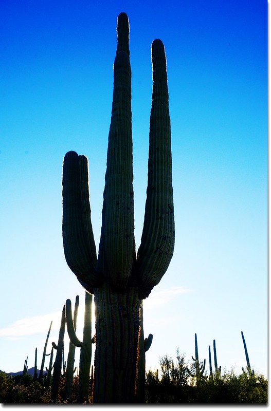 Saguaros growing along the Desert Discovery Nature Trail 3