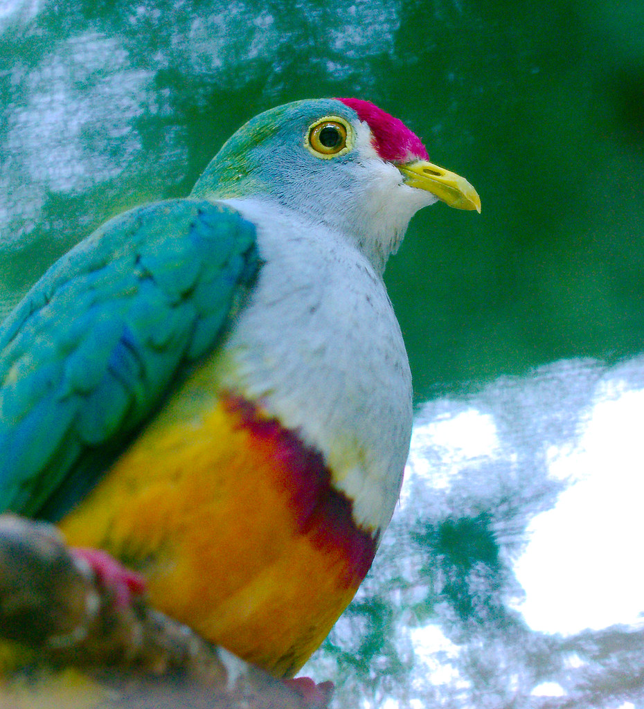Beautiful Fruit Dove (Ptilinopus pulchellus)_3