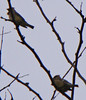 Two Cedar Waxwings side-by-side - lightened and enlarged