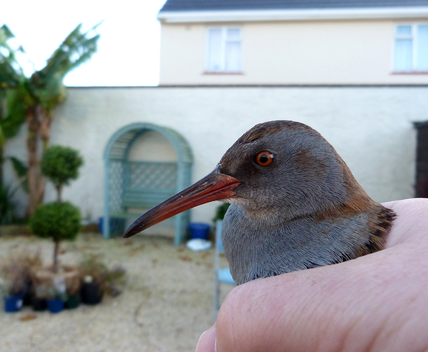 Water Rail STE 31Oct15 a