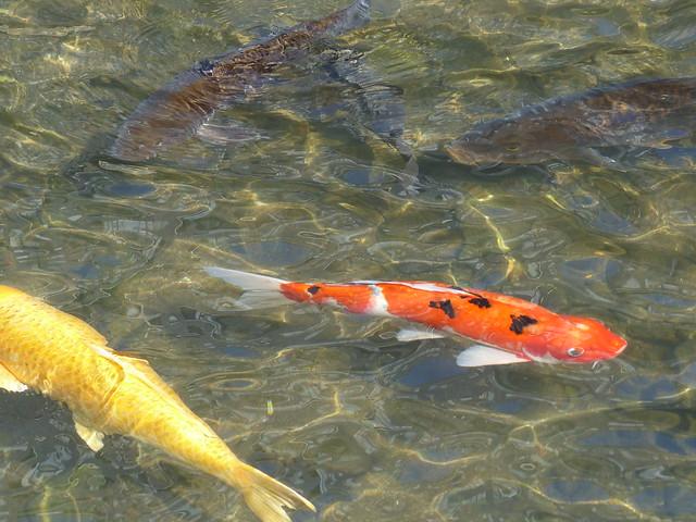 Many carp