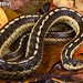Thamnophis sirtalis by Jake M Hutton