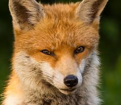 HolderUrban Fox Portrait