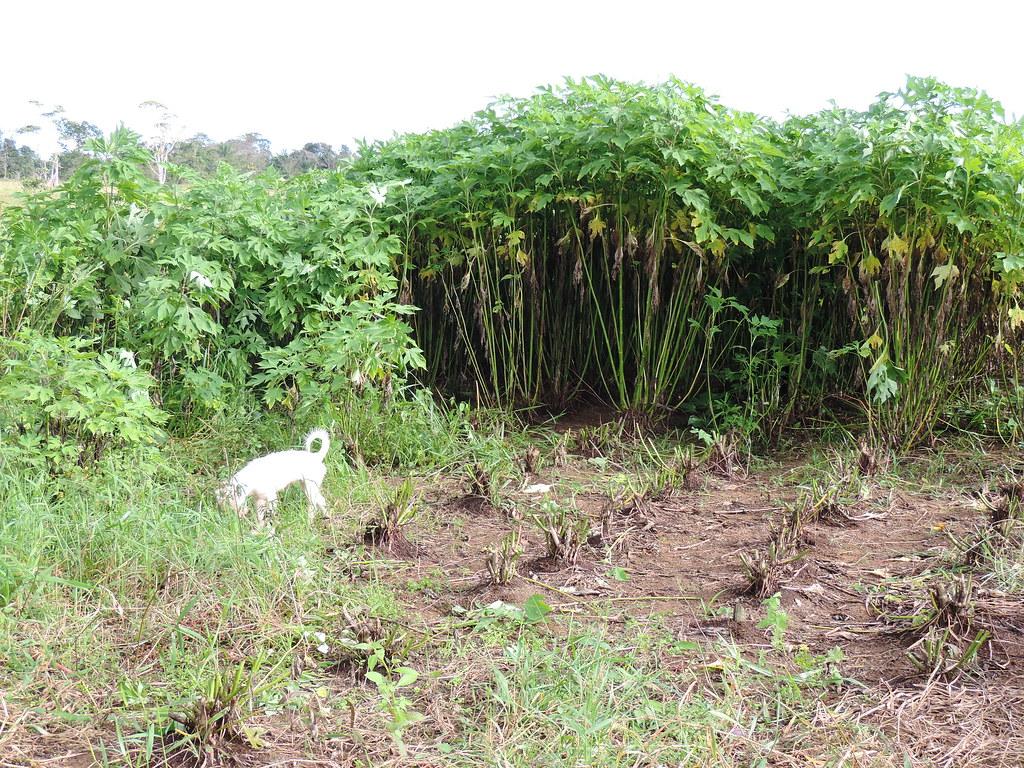 Aprovechamiento de botón de oro (Tithonia diversifolia)