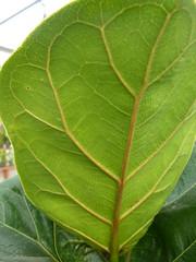 Ficus lyrata leaf under kmoore ccby20