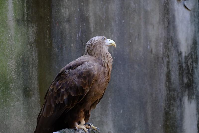 eagle / 鷲