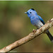 Black Naped Monarch by Aravind Venkatraman