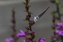 Celastrina argiolus / Boomblauwtje 2-5