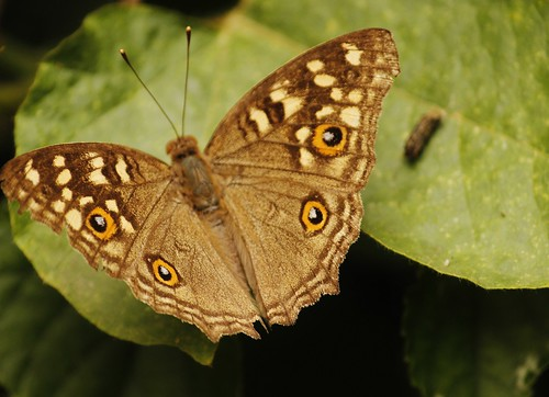 Butterfly-Adyar-Poonga-4