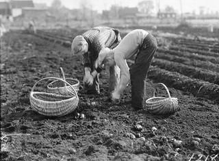 Potato harvest, Cyrville Rd., Ottawa, Ontario / Récolte de pommes de terre le long du chemin Cyrville, à Ottawa (Ontario)
