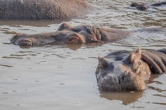 Hippopotamuses Masai Mara / Kenya
