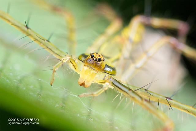 Lynx spider (Schaenicoscelis sp.) - DSC_2675