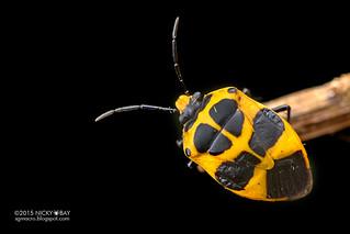 Stink bug (Pentatomidae) - DSC_4413