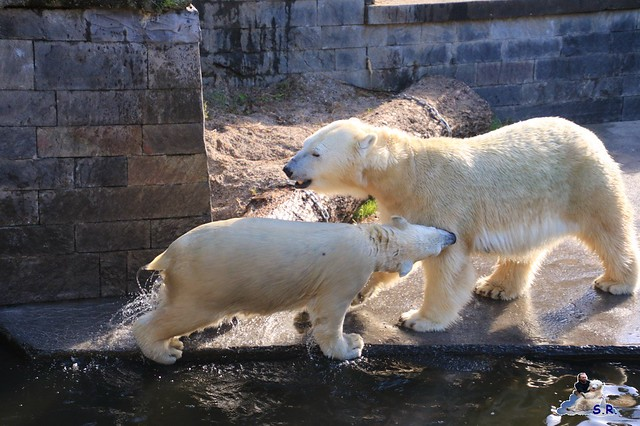 Eisbär Fiete im Zoo Rostock 26.09.2015   08