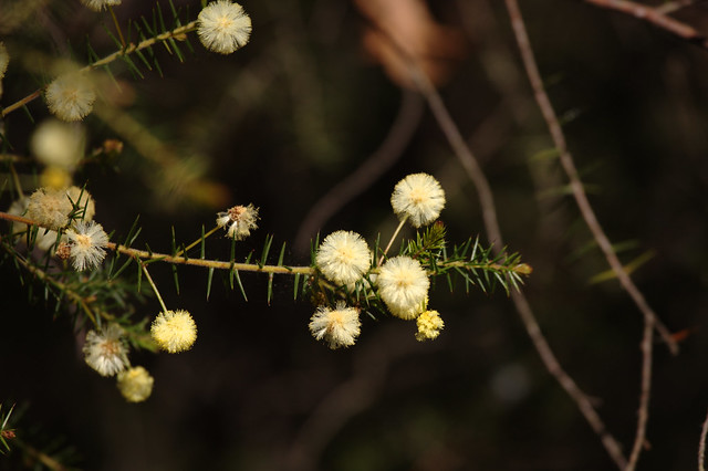 Header of Acacia ulicifolia