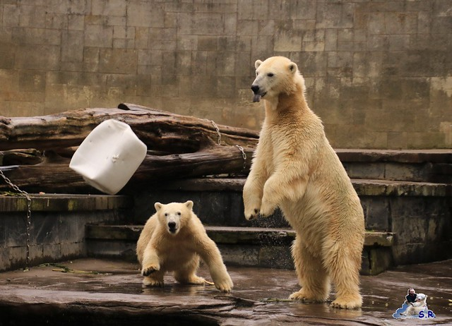 Eisbär Fiete im Zoo Rostock 26.09.2015   0135