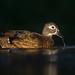 Wood Duck female by E_Rick1502