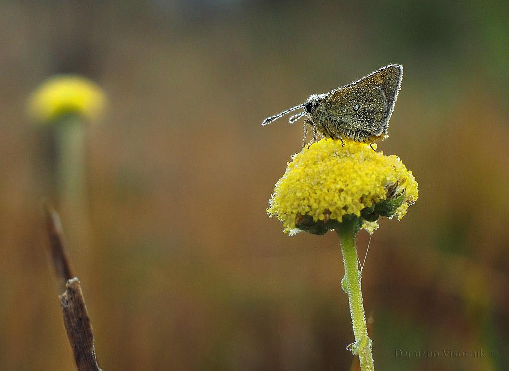 Dew on moth_cr_c