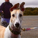 Greyhound Adventures at Crane Beach, Gloucester MA, Oct 4th 2015