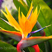 Giant Bird of Paradise by fotos by greg