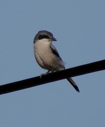Southern Grey Shrike Lanius meridionalis Raposeira, Algarve October 2015