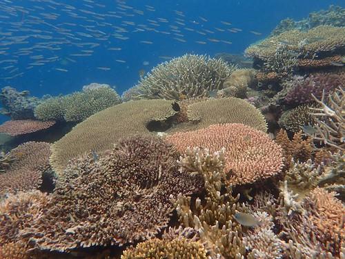 愛妮島的美麗珊瑚。(TG-4)
