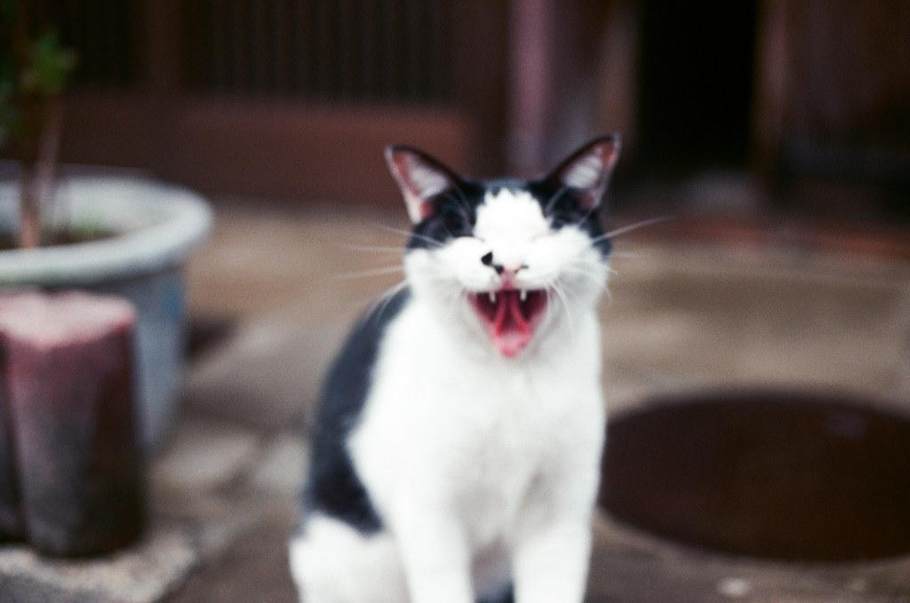 貓 Cat Kyoto 京都 2015/09/23 剛從大阪到京都下榻的地方後,我就帶著相機趁黃昏前來到清水寺。在京都我住在清水寺下面的路口旁,所以很近。但那天我上去清水寺之後一路往北走到花見小路的路上看到這隻很可愛的貓貓!她其實很漂亮,但有點胖胖就是 ...  Nikon FM2 Nikon AI Nikkor 50mm f/1.4S AGFA VISTAPlus ISO400 0948-0031 Photo by Toomore