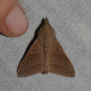 Syrastrena lanaoensis (Lasiocampidae)