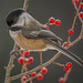 Chickadee in Winterberry by Darryl Robertson