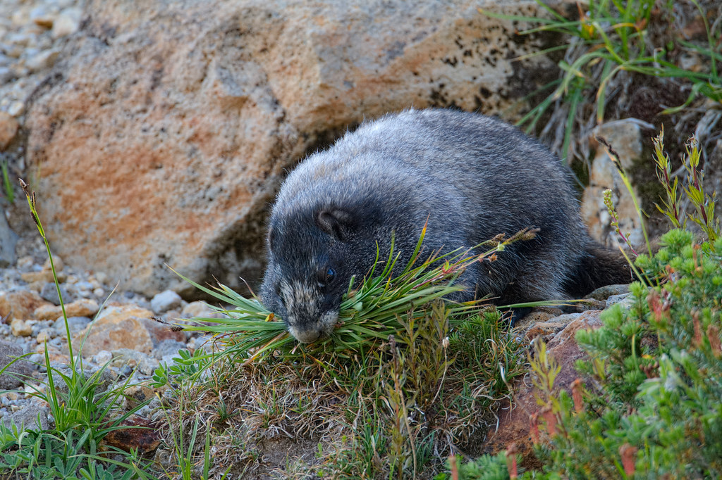 A hoary marmot collects a mouthful of grasses and flowers