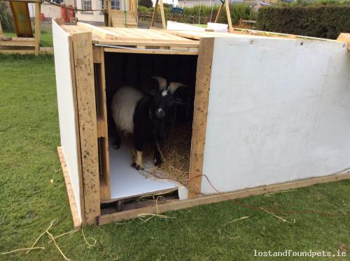 Wed, Dec 2nd, 2015 Lost Male Goat - The Local Area, Oulart, Wexford