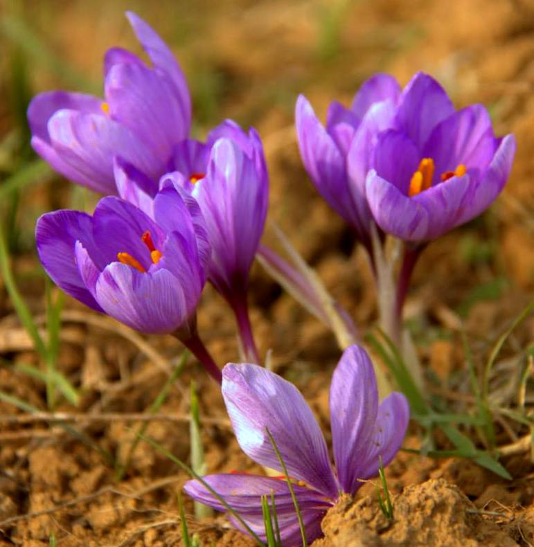 Beautiful saffron flowers