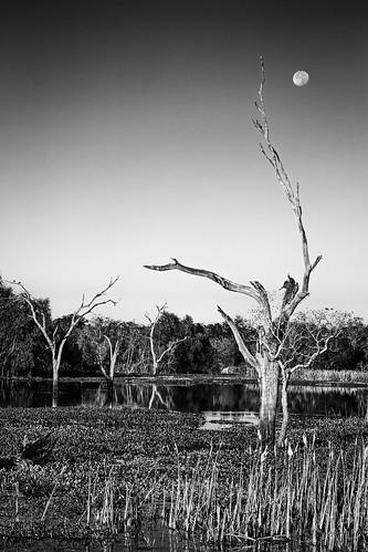 bw bbsp blackwhite blackandwhite brazosbendstatepark dead elmlake lake monochrome moon park statepark tree trees needville texas unitedstates us