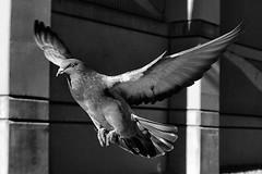 #DailyPigeon 112816 1/2000 f3.5 125 #pigeon #pigeons #CityBird #UrbanWildlife #InstaDFW #Dallas #bnw #bw #bnw_society #bnw_captures #blackandwhite #bnw_just #monochrome #bnwphotography #bnwphotography #iLikeBirds #birds #pigeonsofinstagram #pigeonstagram