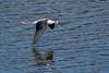 Black-necked Stilt (Himantopus mexicanus) 4 083115 by evimeyer