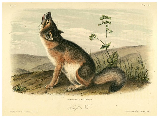 012-Zorro rapido-The quadrupeds of North América-Vol2- 1849- 1854-J.J. Audubon-Universite de Strasbourg