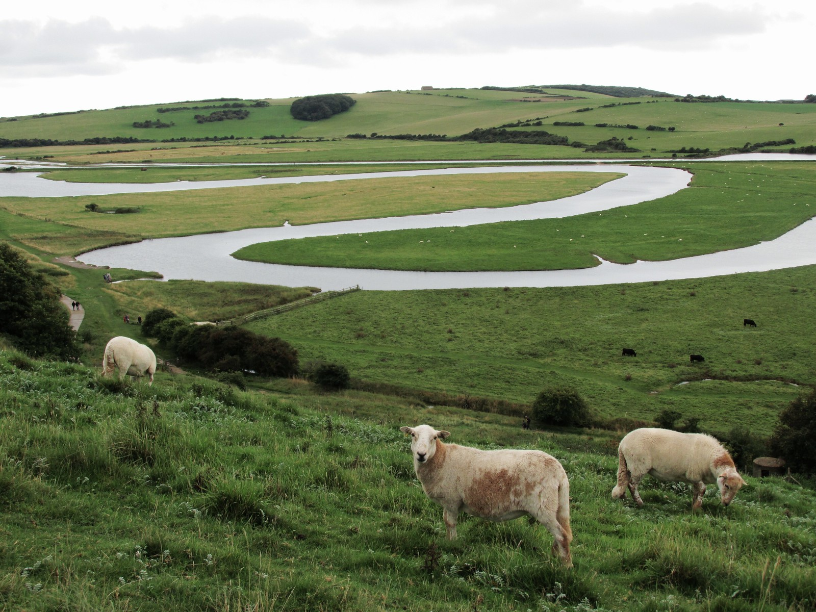 August 31, 2015: Seaford to Eastbourne Sheep grazing above Cuckmere River