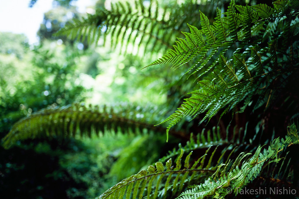 fern, its shape