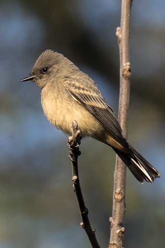 Negri-Nepote: Say's Phoebe