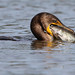 The Cormorant Did Eat This Catfish by rivadock4