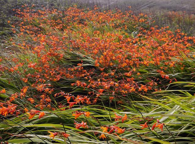 Orange Crocosmia grow in abundance along the roads on Inishowen Peninula in Ireland