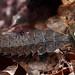 firefly larva feeding on snail by myriorama