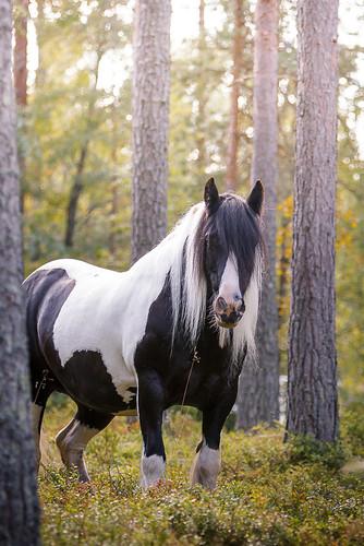 horse forest canon suomi finland mare 7d equine hevonen tinker kesä 2015 tamma tobiano irishcob horseportrait gypsycob equinephotography äänekoski horsephoto horsephotography equinephoto hevosvalokuvaus