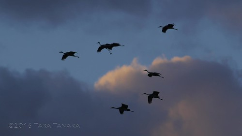 2016-11-11 Sandhill Cranes stream across a New Mexico sky