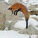 Fascinating Foxes by marylee.agnew